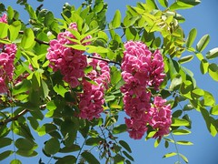 Pirámides de Güímar - Robinia pseudoacacia (Linda DV) Tags: lindadevolder culture culturaltravel canaryislands travel geotagged geomapped 2016 islascanarias güímar pyramidsofgüímar pirámidesdegüímar thorheyerdahl myth controversial guimar exploretheworld canonpowershotsx40hs parqueetnográficopirámidesdegüímar archeology robiniapseudoacacia fabaceae treeflower tree pinkflower pink flower fleur bloem flor flora bloom blossom tenerife ribbet