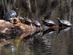 Turtle Party (FoxInTheWoods) Tags: reflection nature water spring pond log hiking turtle basking