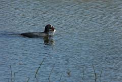 Coot with nesting material (joeke pieters) Tags: bird coot vogel meerkoet panasonicdmcfz150 1270073