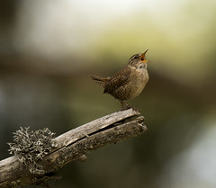 Small bird, strong voice! (Lefteris Stavrakas) Tags: bird wren troglodytes
