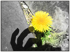 Dandelion (Stephenie DeKouadio) Tags: light shadow plant flower color colour macro art beautiful beauty yellow canon painting photography photo spring colorful hand image artistic outdoor dandelion lovely imagery