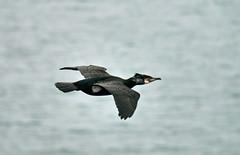 Cormorant gliding (Karls Kamera) Tags: black bird flight cormorant gliding stbees