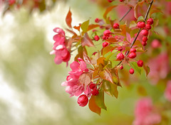 More Blossom (paulapics2) Tags: pink flower tree green nature floral beautiful leaves spring flora pretty raw bokeh blumen bloom pinks frhling crabapple newleaves malus