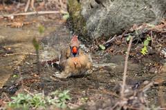 Madame cardinal au bain-11.jpg (Sylvain Bdard) Tags: montral cardinal animaux oiseau lieux jardinbotaniquedemontral