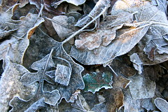 Winter Carpet (Black Cat Bazaar) Tags: california ca winter leaves frosty earthy chico nord underfoot