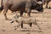 SK7_6283 (glidergoth) Tags: park south safari national zambia waterbuffalo luangwa mfuwe phacochoerusafricanus bubalusbubalis commonwarthog