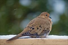 Snowy Mourning Dove (Jeannot7) Tags: snow ontario bird backyard dove deck mourningdove zenaidamacroura birdwatcher cobourg