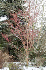 Acerpalmatum 'Sango-kaku' - Darts Hill Garden Park (ScarletBlack) Tags: maple acer