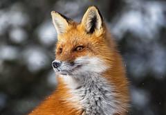Female fox (JD~PHOTOGRAPHY) Tags: nature animal closeup mammal wildlife natur fox redfox foxportrait femalefox