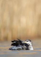 Red necked grebe (Mike Mckenzie8) Tags: winter wild sun lake bird reeds outdoor wildlife preening feather british plumage warer podiceps grisegena