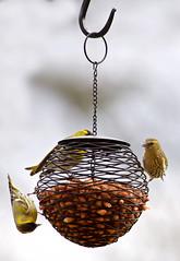 Nut feeders (jayneboo) Tags: birds garden nuts finch birdfeeders odc uphigh siskin 366 366in3016