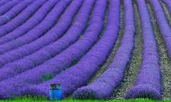Lavender field (pompey shoes) Tags: flowers grass kent purple drum farm barrel lavender rows oil fields shoreham castlefarm
