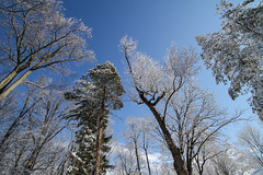 Snow tipped trees & clear blue sky 2 (Mikeinwayne...On and off...) Tags: blue trees winter sky white snow newjersey nj