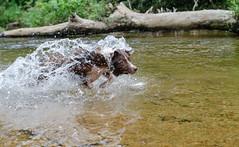 Kyra crazy dog (mcvmjr1971) Tags: travel dog beach brasil swim fun 50mm nikon collie play sopaulo border joy run cachorro viagem litoralnorte sosebastio barradouna f18d lensnikkor d7000 mmoraes