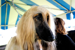 PALM SPRINGS KC 2016 008 (Larry Mendelsohn) Tags: dogs palmsprings dogshow palmspringskennelclub fujifilmxt10 fujifilm1024f4
