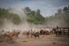 Los vaqueros de Paraguay (julia zabrodzka) Tags: horse cowboys cows estancia paraguay chaco gauchos cabello vacas vaqueros paragwaj