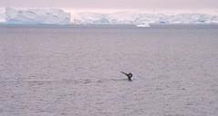1998_01_19_26 (petermit2) Tags: ice antarctica whale iceberg humpback humpbackwhale antarctic antarcticpeninsula gerlachestrait