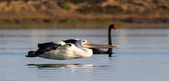 Pelican fly-by (Mykel46) Tags: nature birds wildlife au australia pelican southaustralia bif flyby coorong goolwasouth