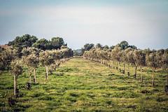 Olivar joven (ibzsierra) Tags: canon ibiza 7d eivissa baleares olivo olivar 100400isusm