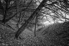 I'll grow my own way. (Andy Hough Photography) Tags: trees england bw woodland blackwhite unitedkingdom path sony gb watlington a99 sonyalpha andyhough slta99v andyhoughphotography sonyzeiss2470f28zassm