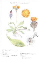 Botanical drawing of Orange Hawkweed (Environment + Heritage NSW) Tags: weed volunteers volunteer hawkweed orangehawkweed volunteerprogram weedcontrol huntinghawkweed orangehawkweedcontrolprogram weedprogram