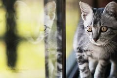 Reflections (Gigio Schwarz) Tags: pet window glass animal vidro cat photography gato meow janela reflexo reflaction petphotography