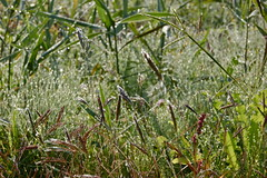 early autumn in Akita_2015 (bestpg12to32) Tags: morning autumn summer green field grass akita morningdew