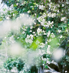(.AiLinh) Tags: flowers white flower film fleur fleurs 35mm canon thailand whiteflower kodak iso400 ishootfilm bougainvillea thai dreamy pattaya elan7 kodakfilm whiteflowers filmphotography bougainvilleas canonelan7 canon30v ultramax elan7n eos30v filmphoto filmisnotdead kodakultramax ultramax400 kodakultramax400 filmphotograph