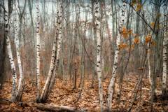 Birches (lclower19) Tags: trees texture pond massachusetts horn birches orton woburn kimklassen