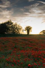DSC04656 (wheelsy1) Tags: walking derbyshire poppy chesterfield sheepbridge poppyfield unstone richardwiles