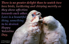 Valentine Day 2016 Australian Love Birds (photographer695) Tags: show two love beautiful birds happy is other day affection no thing watch valentine delight than there they greater towards each merrily chirping twittering