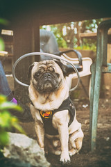 With a Halo (CarbonNYC [in SF!]) Tags: portrait dog pug halo peter howardlangton