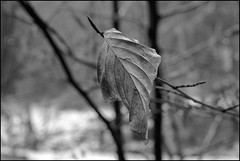 Winter - Leave (ch.weidinger) Tags: old winter cold nature leaves analog canon focus fuji alt natur t90 kalt bltter 135mm fd acros fokus