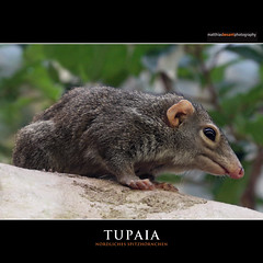 TUPAIA (Matthias Besant) Tags: wood portrait pet brown white macro tree cute nature animal closeup hair mouse mammal nose zoo klein squirrel rat ast looking background tail small natur gray fluffy chipmunk hamster augen staring curiosity baum fell shrew tier squirel sugetier blicken zoofrankfurt tupaia tupaiidae spitzhrnchen
