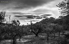[ #56 :: 2016 ] (Salva Mira) Tags: bw bn guadalest olivetrees salva pasvalenci oliveres lamarina marinabaixa salvamira salvadormira olieveras