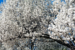 A Blizzard of Pear tree blossoms (hz536n/George Thomas) Tags: trees copyright oklahoma nature spring blossom canon5d stillwater blooming bradfordpear 2016 cs5 georgethomas ef100mmf28lmacroisusm