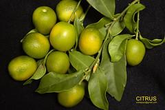 laranjinhaDSC6834 (costapppr) Tags: laranjinha citrusjaponica