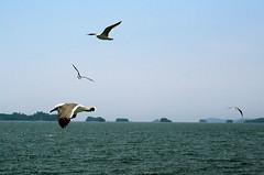 _DSC0391 (sayots) Tags: japan gull  matsushima miyagi