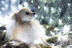 Tierna e inocente (Alyaz7) Tags: dog pet blur cute christmaslights perro desenfoque pomeranian mascota inocencia ternura lucesnavideas rawquality nikond7200 lentenikonnikkorafs40mm128gdxmicro