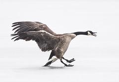 Canada Goose (Jan Crites) Tags: winter bird nature outdoors geese nikon wildlife iowa canadageese avian lilylake d610 amanacolonies jancritesphotography nikon200500mm