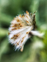Blowball 2 (ikilledkenny1029) Tags: macro blowball