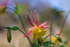 wild columbine (Uncle Tee TX) Tags: sony 5018 outstandingshots meyeroptik a6000