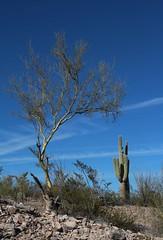 Bare Palo Verde and Saguaro Cactus; San Pedro River Valley, AZ (Lon&Queta) Tags: arizona usa cacti landscapes flickr desert unitedstatesofamerica gps paloverdetree 2014 pinalcounty sanpedrorivervalley saguarocactuscarnegieagigantea