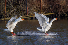 Oies - Explored (Oric1) Tags: canoneos7d essonne france franceoric1 tamron150600 bird blanche goose oie oiseau eau landing amerrissage 7d eos canon tamronsp150600mmf563divcusd jeanlucmolle labous ornithologie ornithology watching