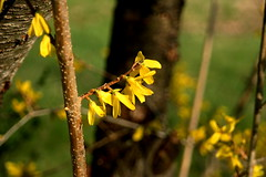 forsythia (Kgarth photography) Tags: plants flower canon 350d bush rebelxt eos350d canonrebelxt