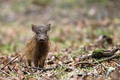 Wild Boar piglet (@LT_FoD) Tags: forest dean piglet wildboar rewilding