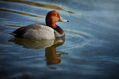 Redhead Drake: Fireman's Pond (Johnrw1491) Tags: painterly birds contrast effects artistic wildlife lakes dramatic ducks diving redhead originals textures western drake waterfowl filters ponds avian settings tonal