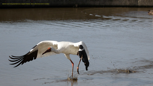Crane, Siberian, NBS, chasing ESP Ducks  (24) copy