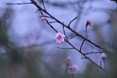 Fleur de pêcher / Flower of peach tree (BPBP42) Tags: flower tree fleur arbre