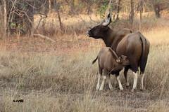 Indian Gaur (harshithjv) Tags: canon mammal wildlife calf bison tamron bigron gaur 600d tadoba indian